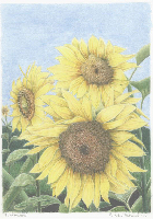 Coloured Pencil Drawing Sunflower